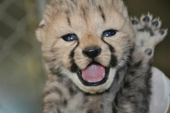 Cheetahs are very cute! (Photo: Smithsonian Conservation Biology Institute)
